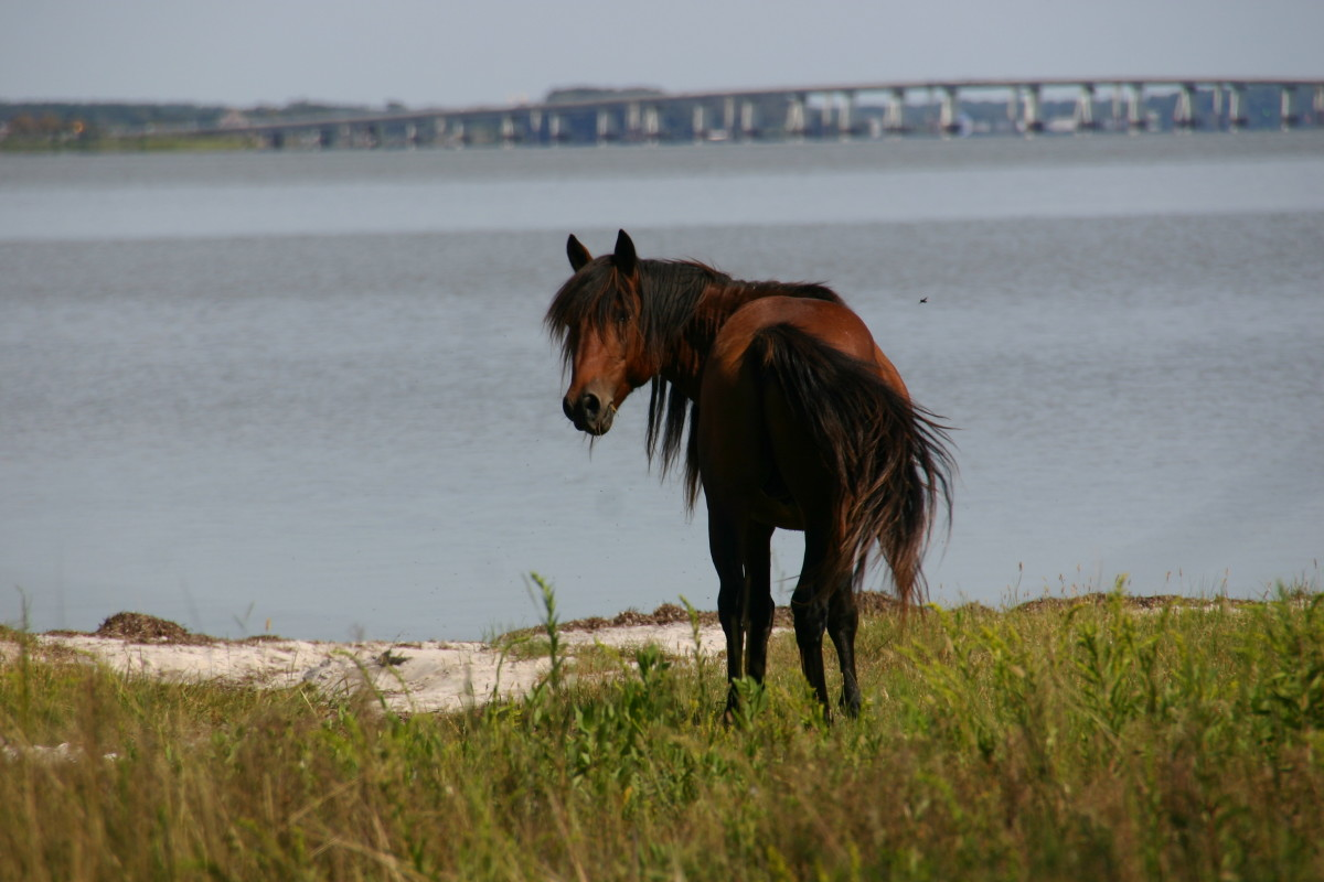 Wild pony in the bayside campground of Assateague National Park