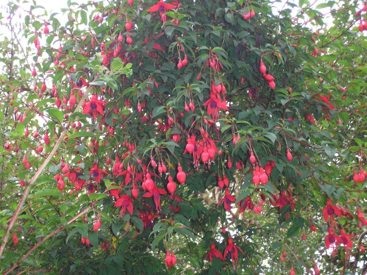 fuchsia-fruit