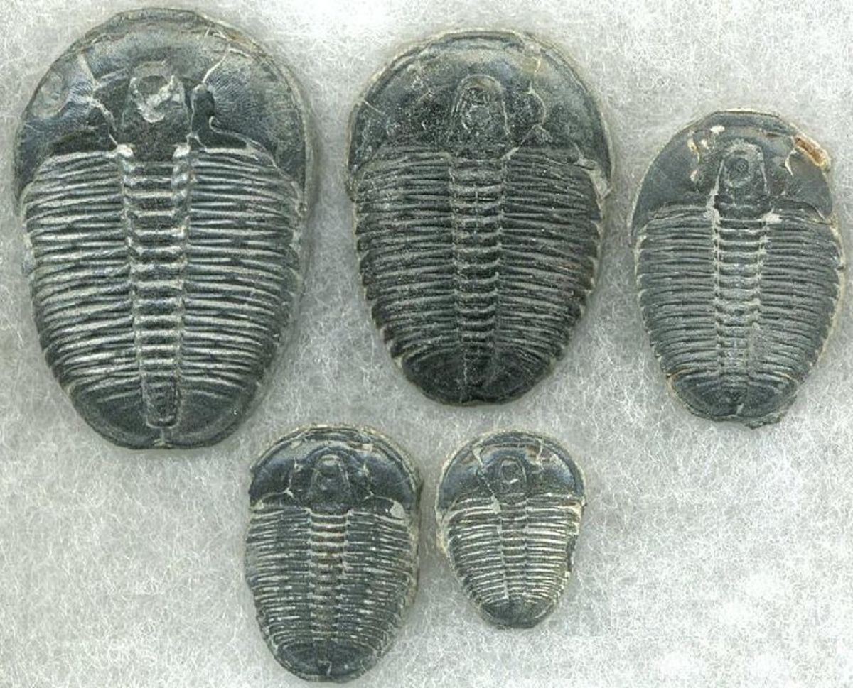 Trilobites were very successful arthropods that looked very similar to modern woodlice, but in came a wide variety of shapes and sizes.