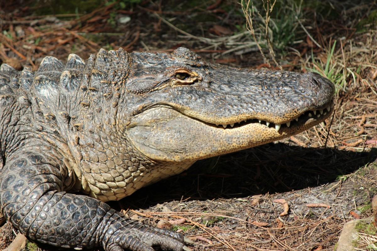 Bull Alligator