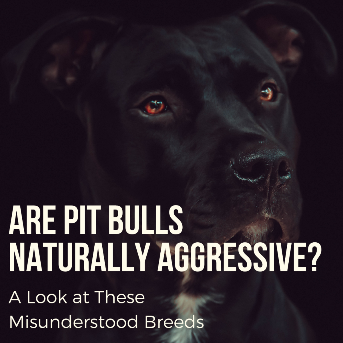 This article will break down the truth about pit bulls, why they are seen as dangerous, and why these loyal and lovable dogs are actually quite silly and playful.
