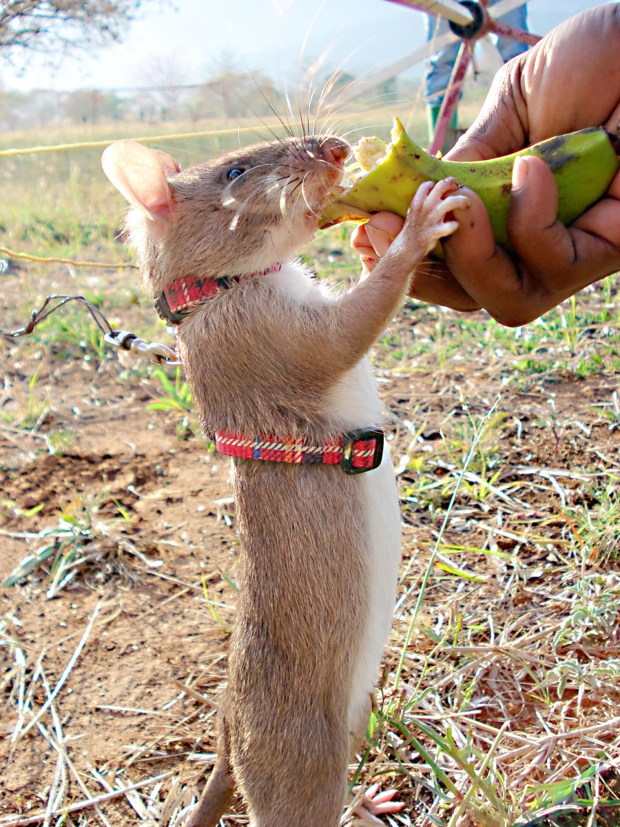 A HeroRAT trained by APOPO to find land mines receives a reward.