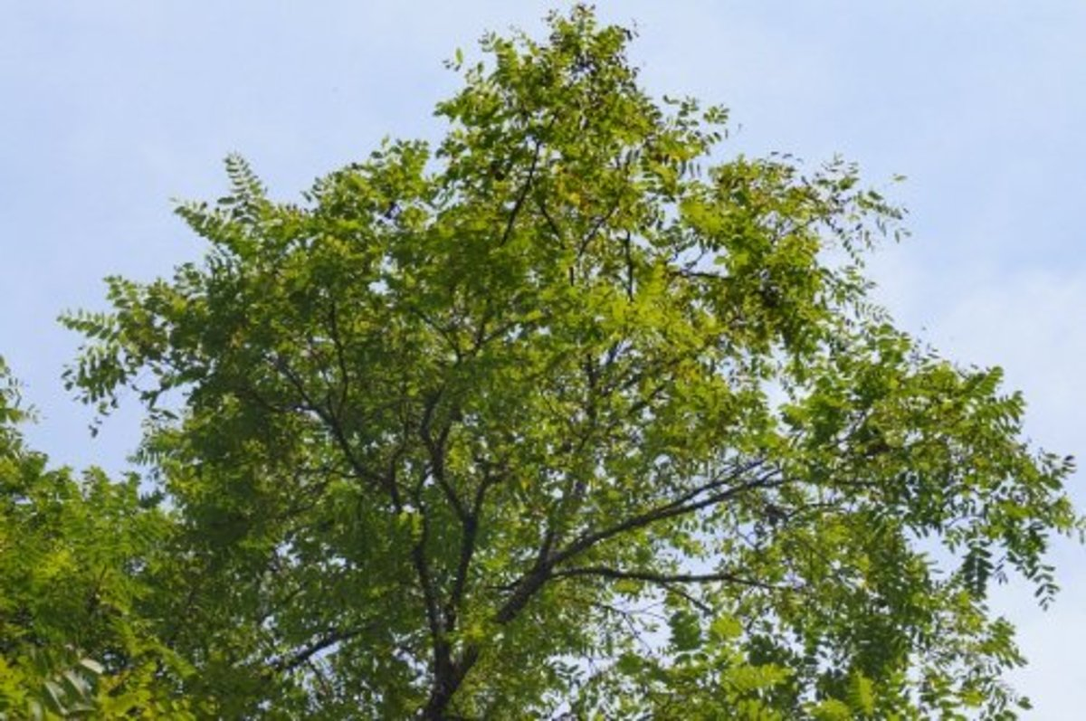 The black walnut tree in my yard.