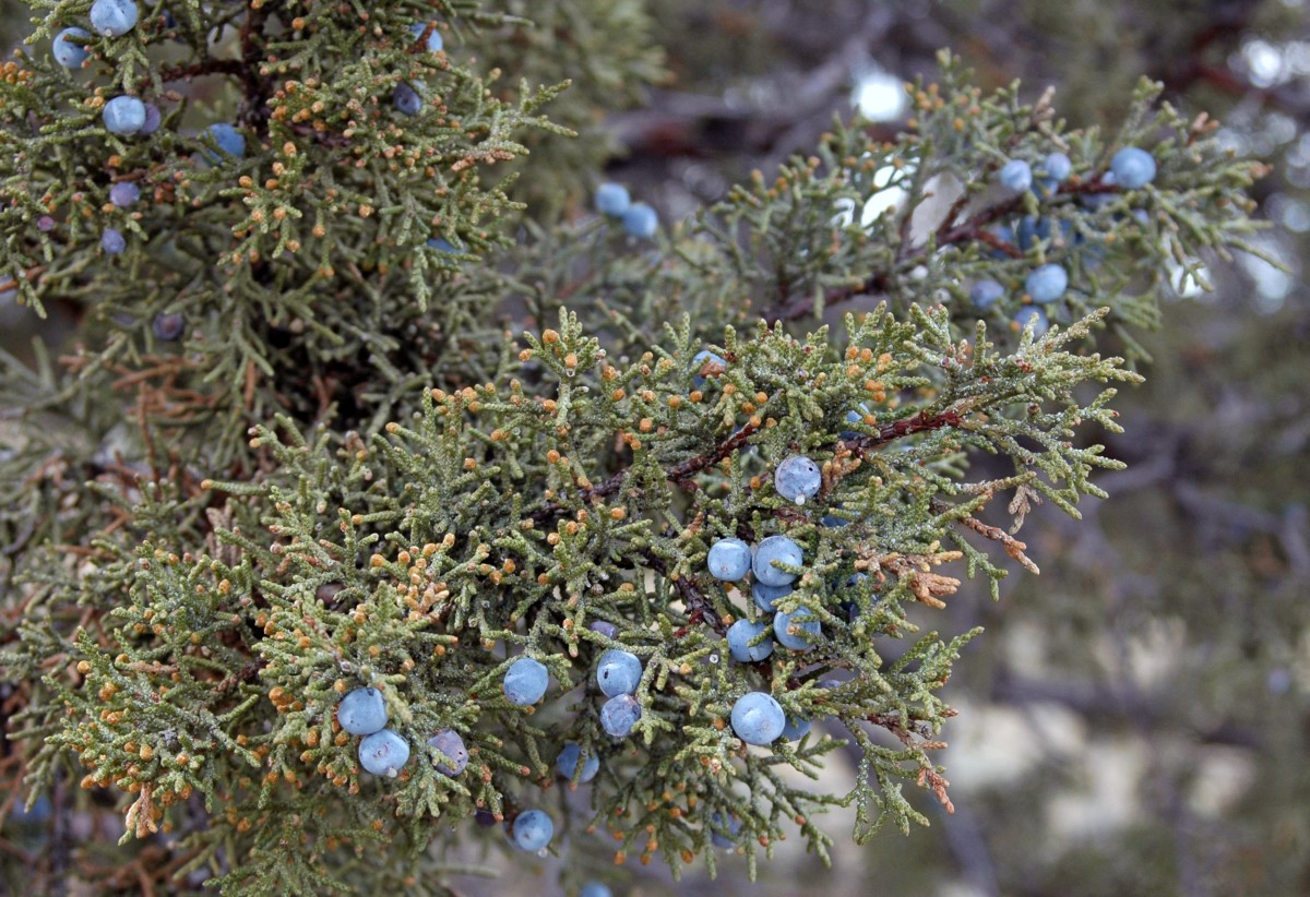 Juniper trees and shrubs are absolutely filled with berries in all stages of ripening.