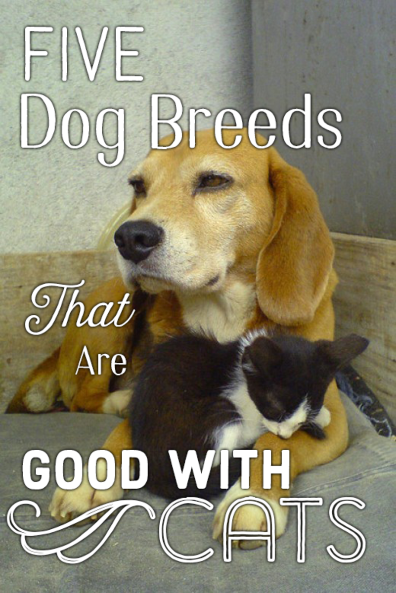 The beagle is one of the top five dog breeds that are good with cats.