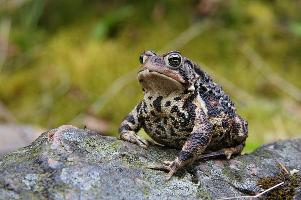 American toads are very common and easy to keep in captivity.