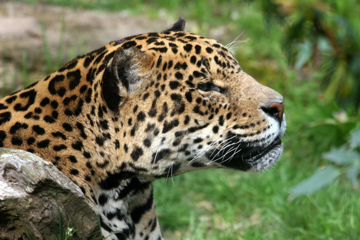 Jaguars are an endangered animal, along with many other cats.