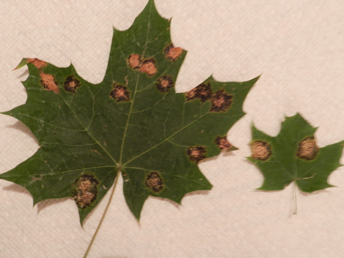 Maple leaf tar spot on dried & pressed leaves.