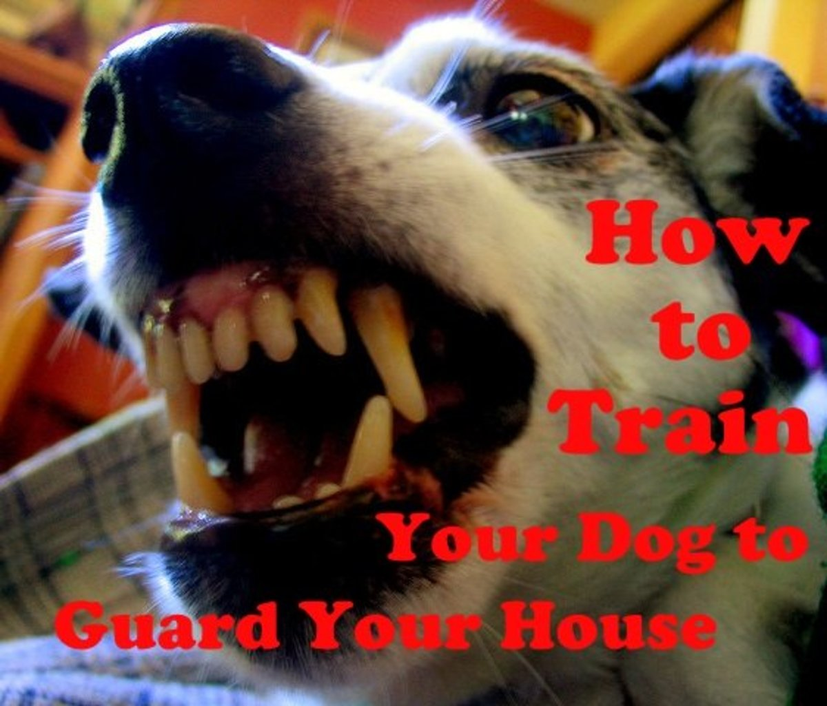 How to train your dog to guard your house.