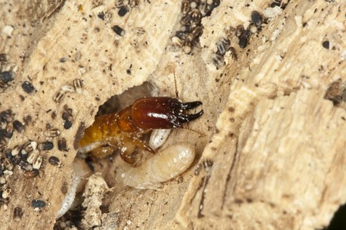 Dry Wood Termite Treatment - Preventive Measures