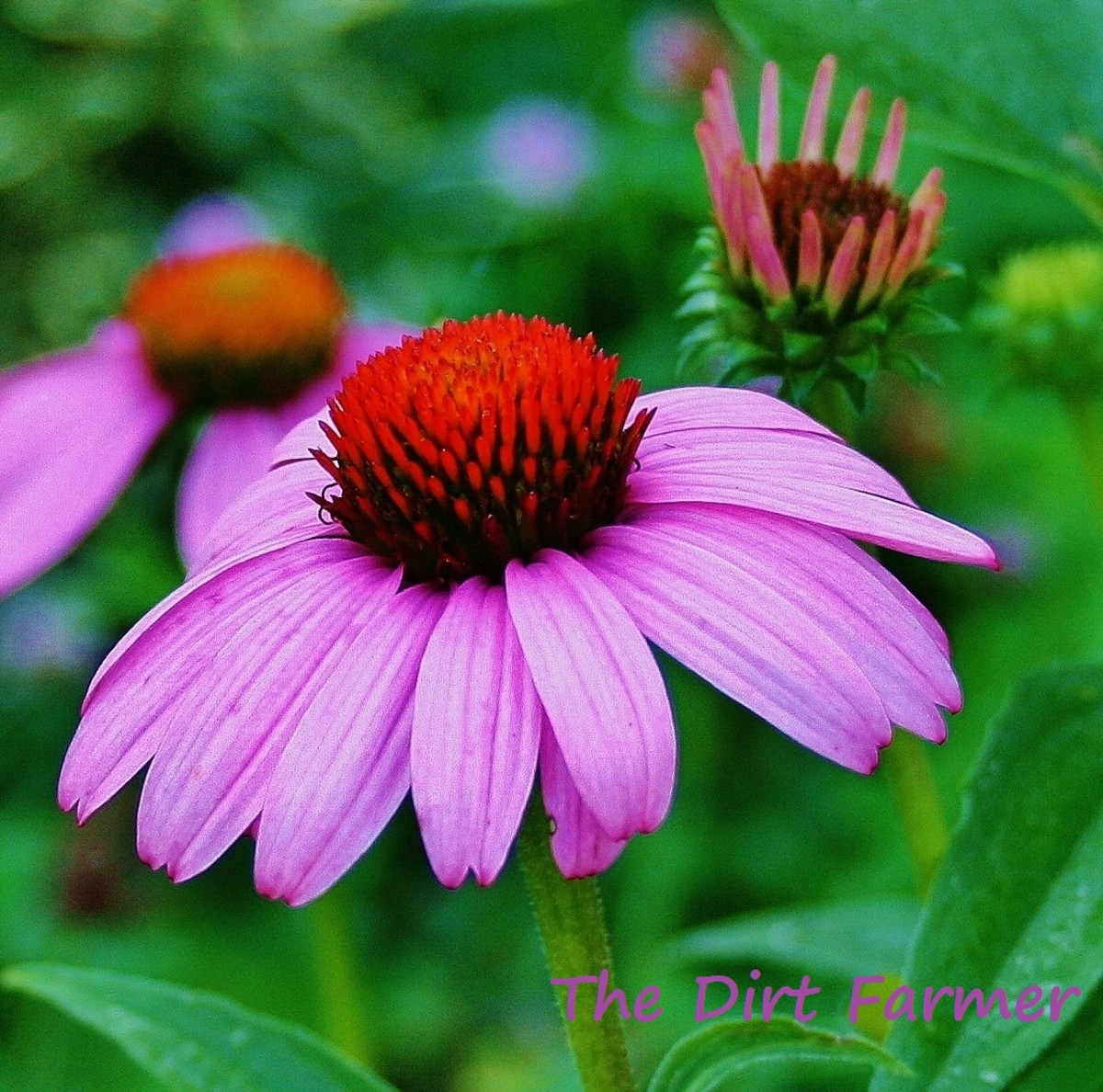 Purple coneflower produces cheery summer flowers that look as lovely in a field or flowerbed as they do in a vase.