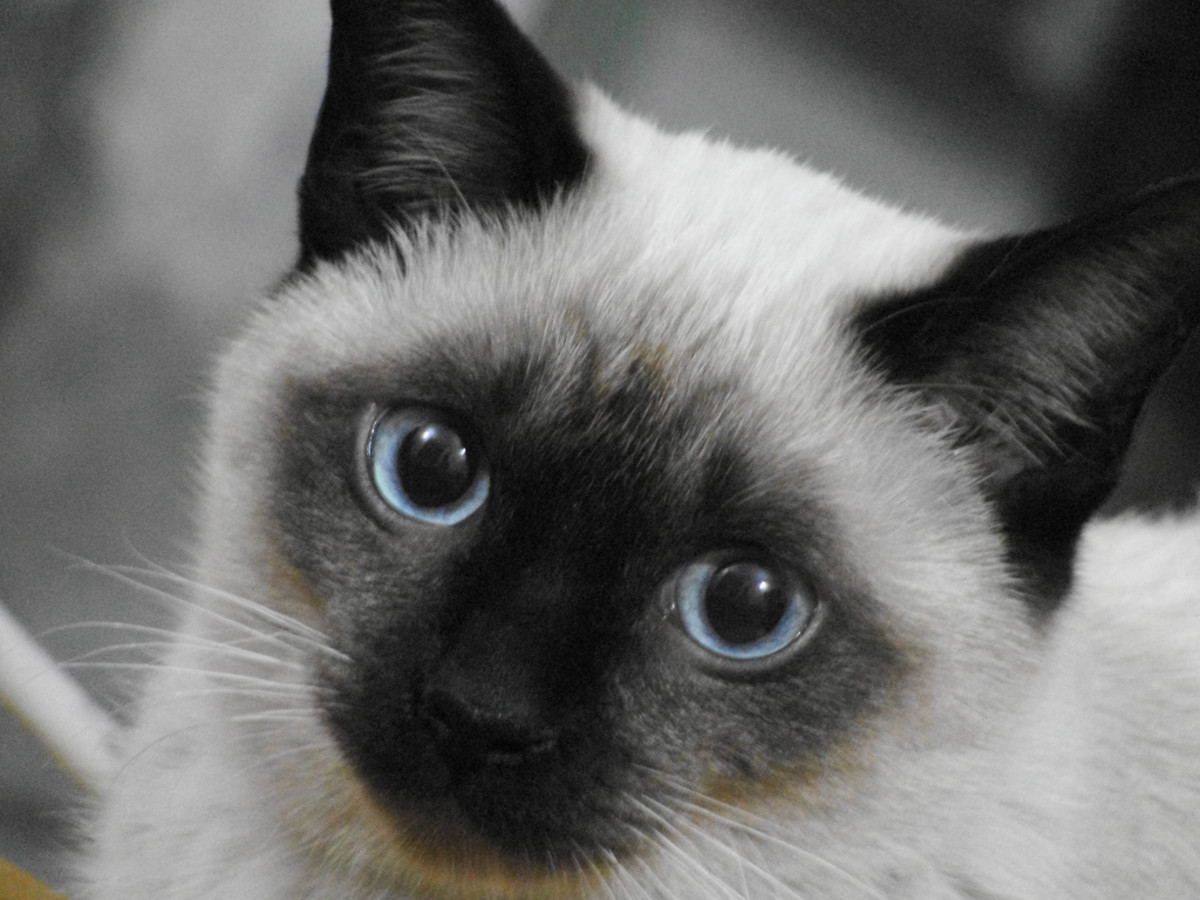 Traditional Siamese Cat Female