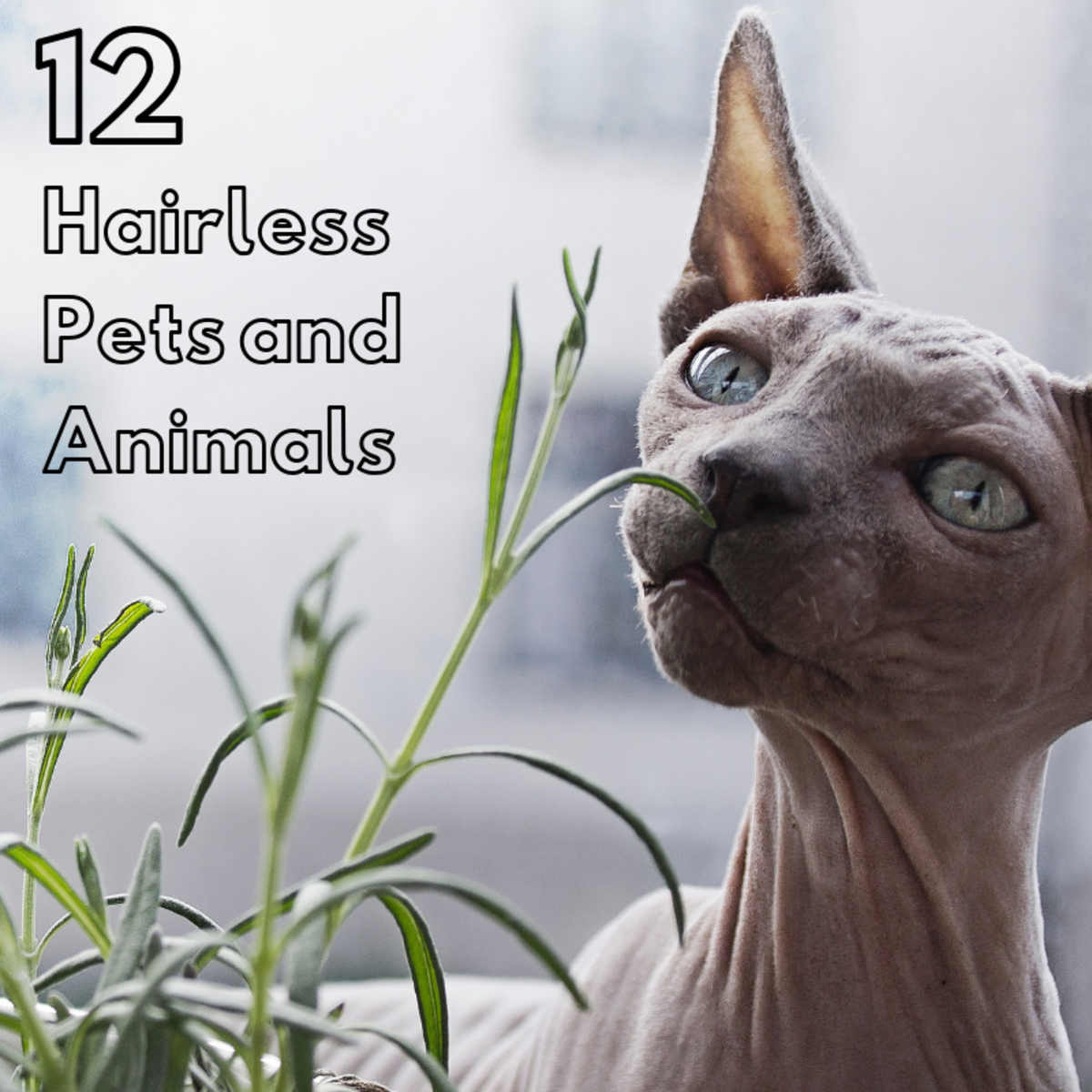 Hairless animals are becoming more and more popular in the pet trade, but they have also been used in research and for food.