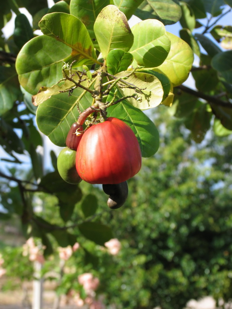 How Cashews Grow
