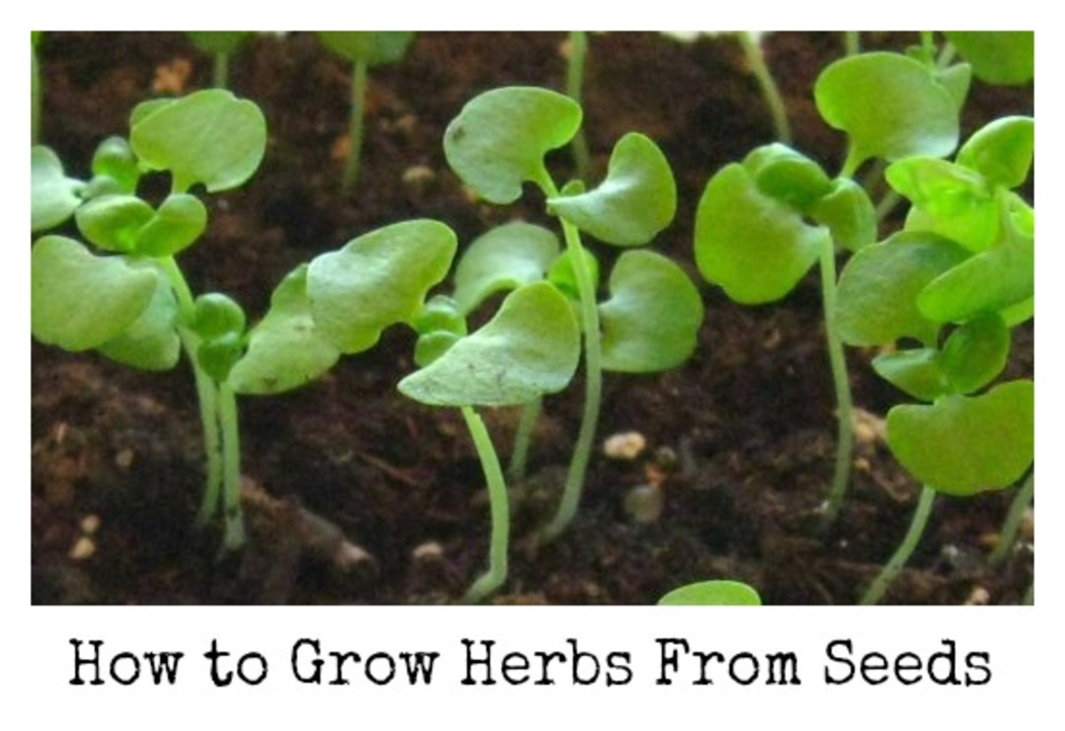 How to Start an Herb Garden From Seed - Basil seedlings.