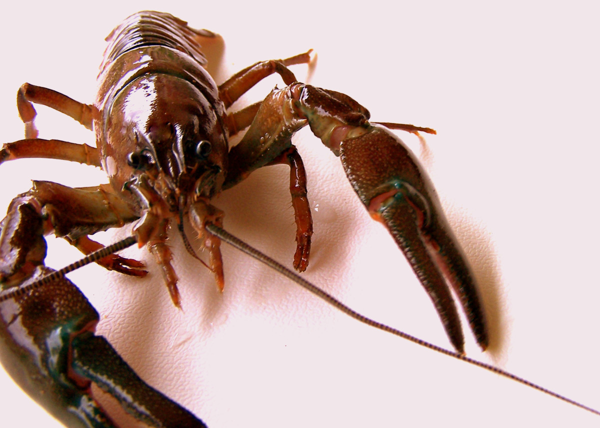 How to Catch and Bait Crawfish (Aka: Crawdad or Crayfish)