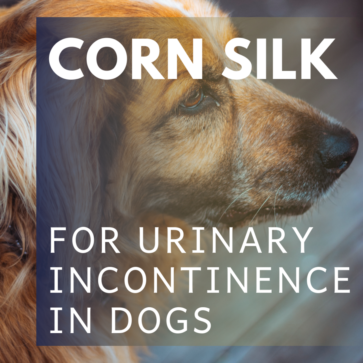 The Treatment of Canine Urinary Incontinence With Corn Silk | PetHelpful