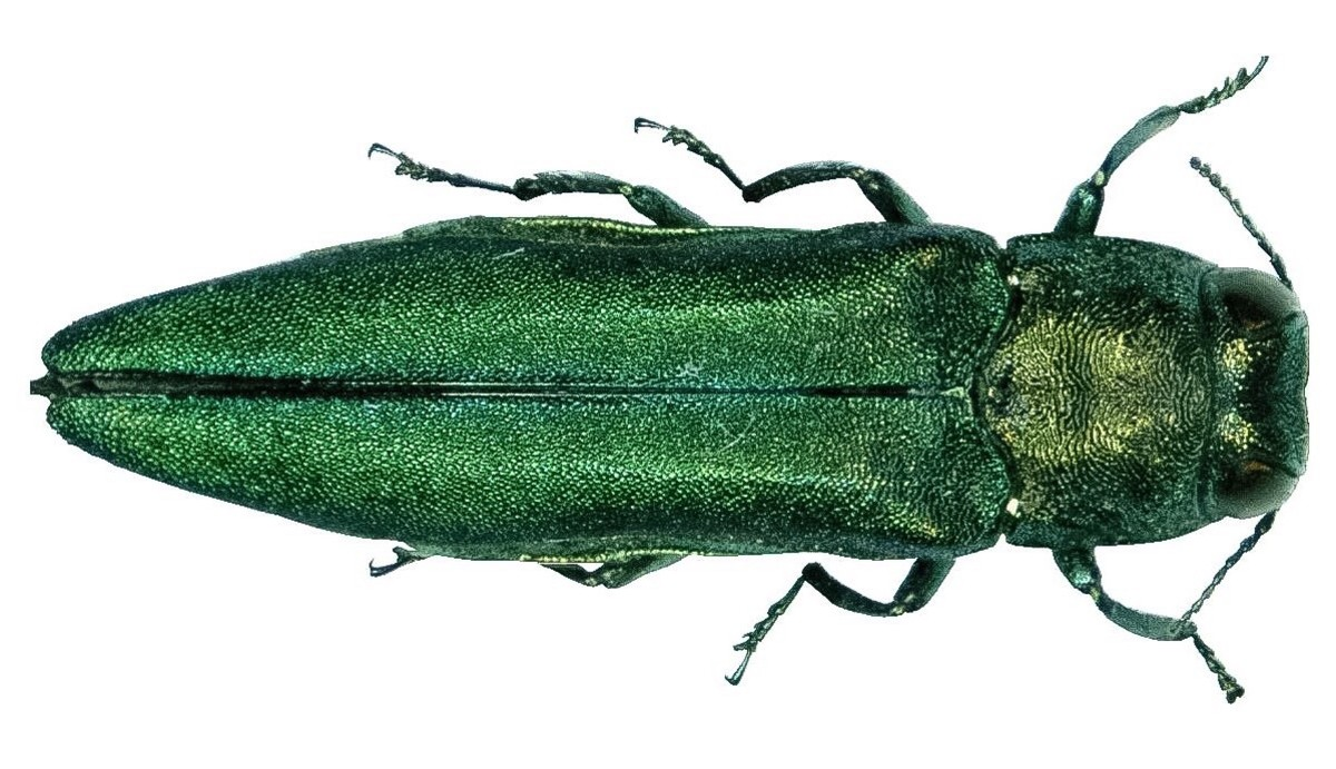 The emerald ash borer is a beautiful pest. The larva is the main problem.
