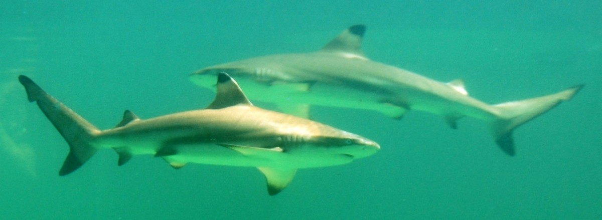 Blacktip sharks, like those pictured above, have been proven to reproduce via parthenogenesis. This rare event generates female offspring containing only the mother's genetic material.