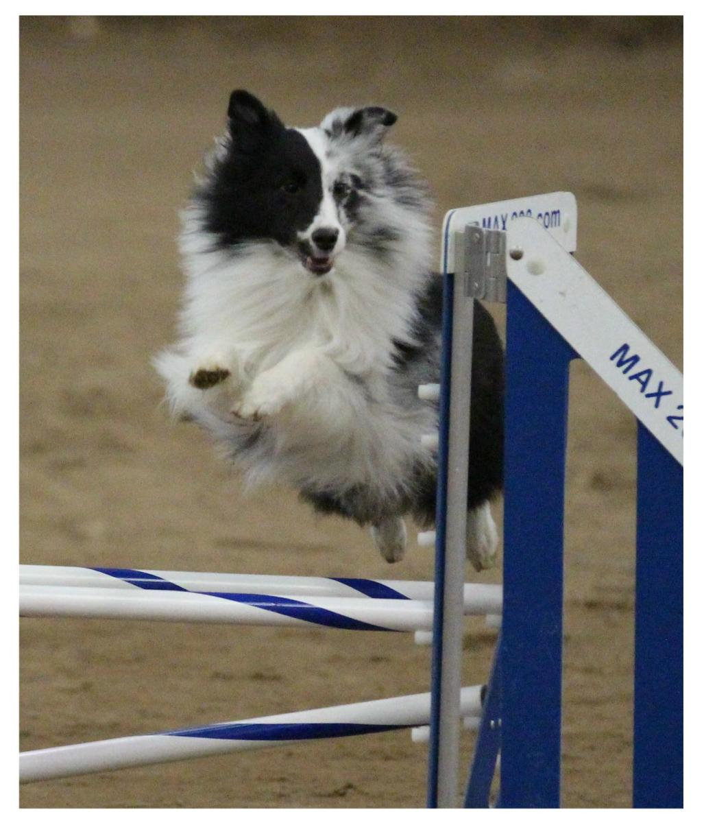 The author's sheltie jumping a double jump.
