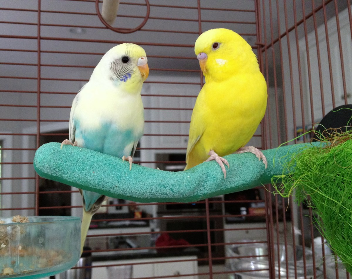 """Marshmallow"" and ""Lemon"" are small pet parakeets."