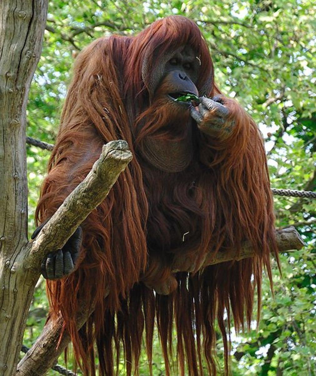 10 Interesting Facts About Orangutans
