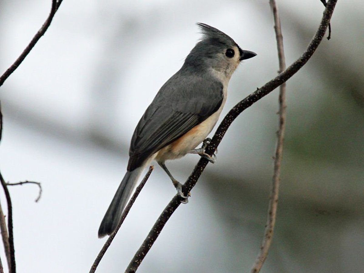The tufted titmouse is a year round inhabitant of Asheville backyards.