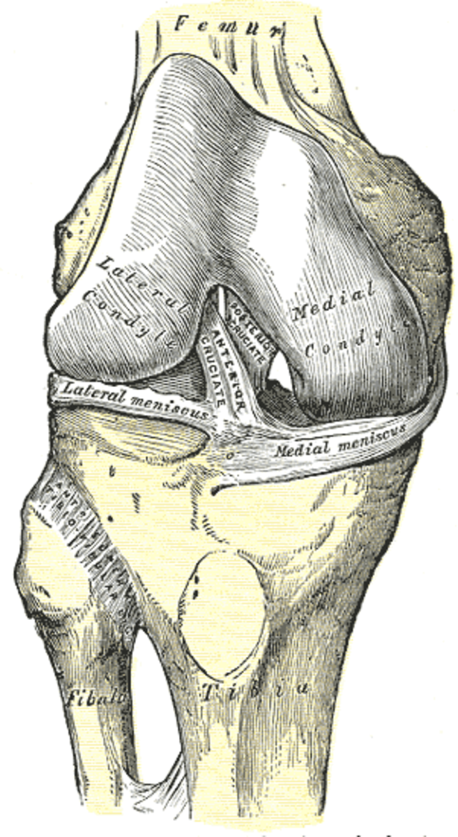 Right knee-joint, from the front, showing interior ligaments.