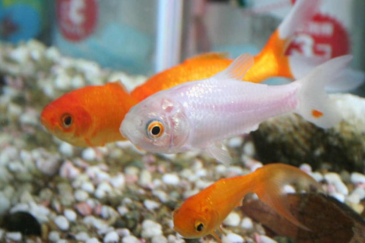 50+ Creative Goldfish Names From Blaze to Twinkie