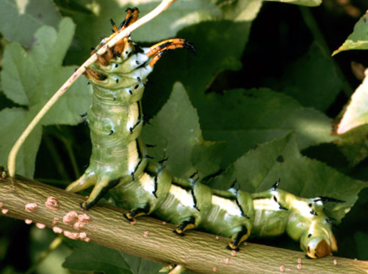 This guide includes many of the caterpillars you might find while gardening or just being outside