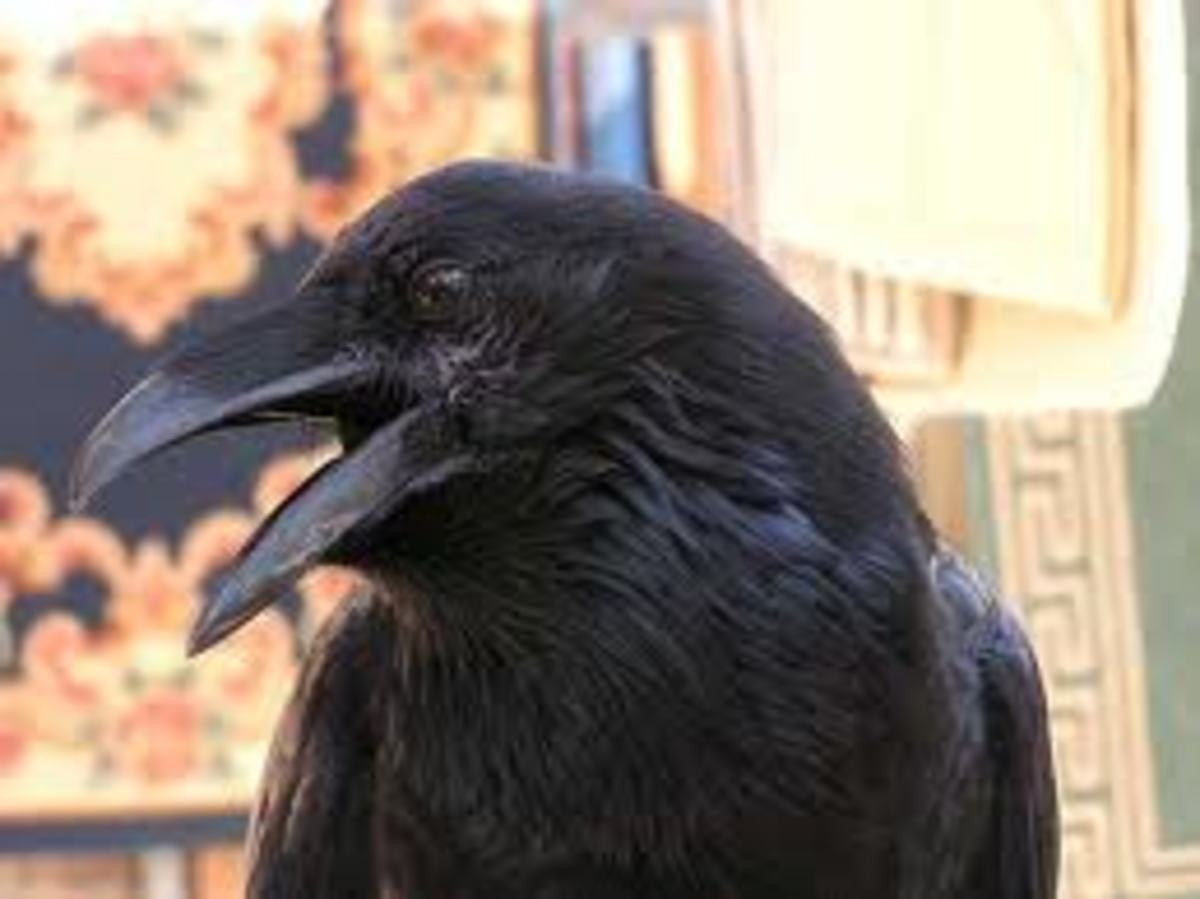The Raven and the Wolf—a Study in Symbiosis