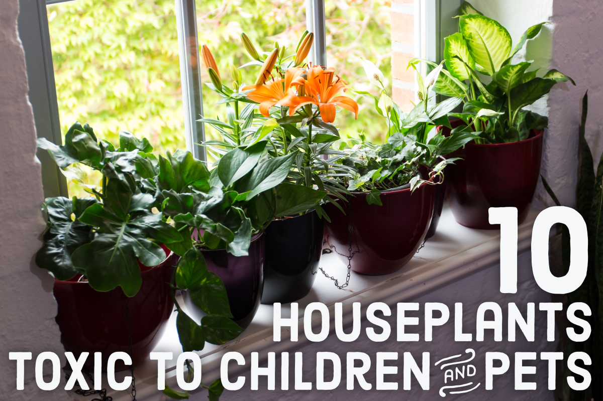 10 toxic houseplants that are dangerous for children and Houseplants not toxic to cats