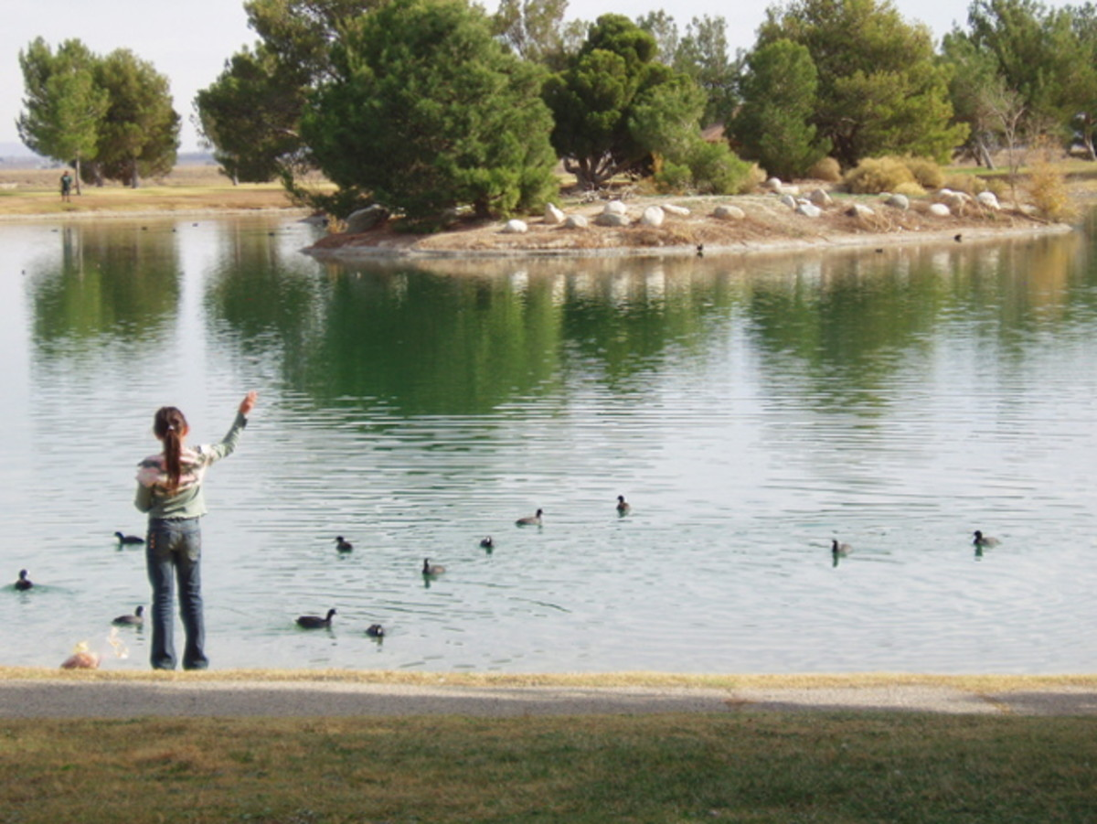 Feeding ducks at a beautiful wastewater reclamation pond set up as a public park - Los Angeles County.
