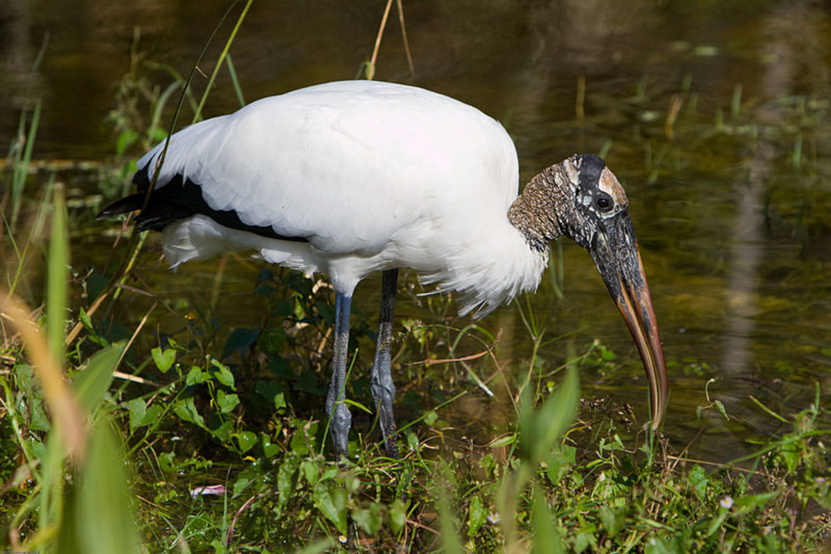The Florida Everglades are home to hundreds, if not thousands of bird species.