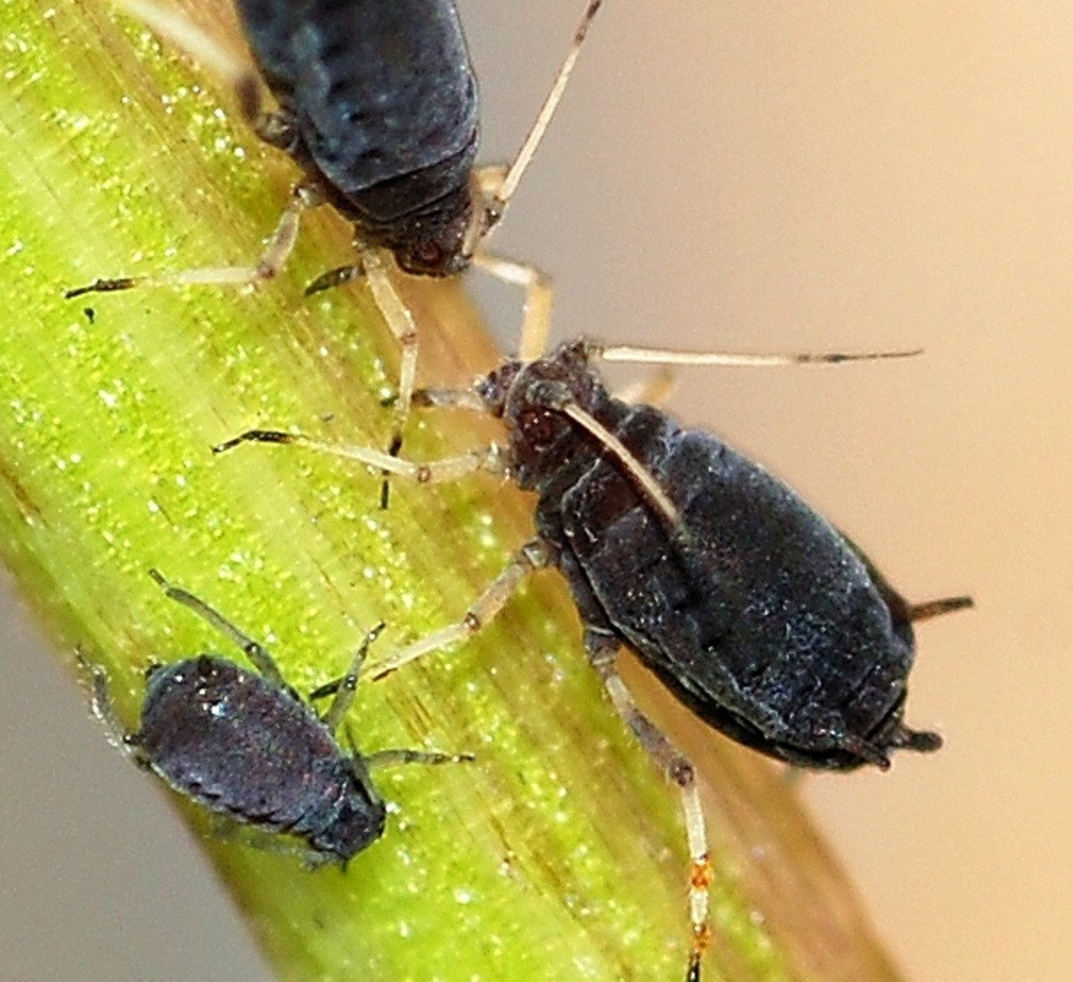 Homemade Organic Aphid Spray Recipe