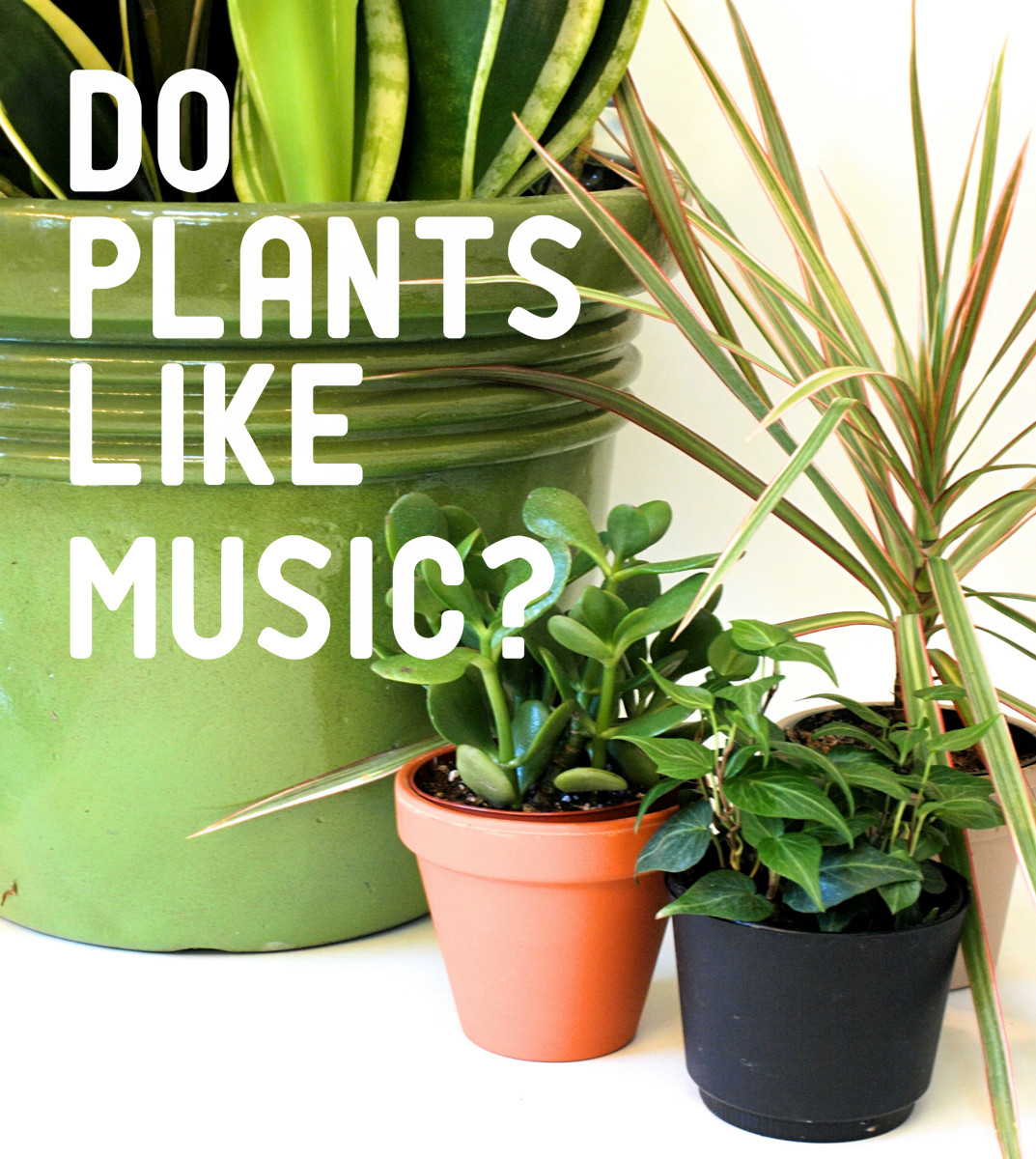 Does music really help plants grow? Learn about some interesting studies involving music and plants!