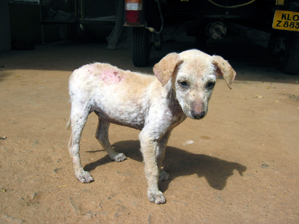 Demodectic Mange in a Puppy