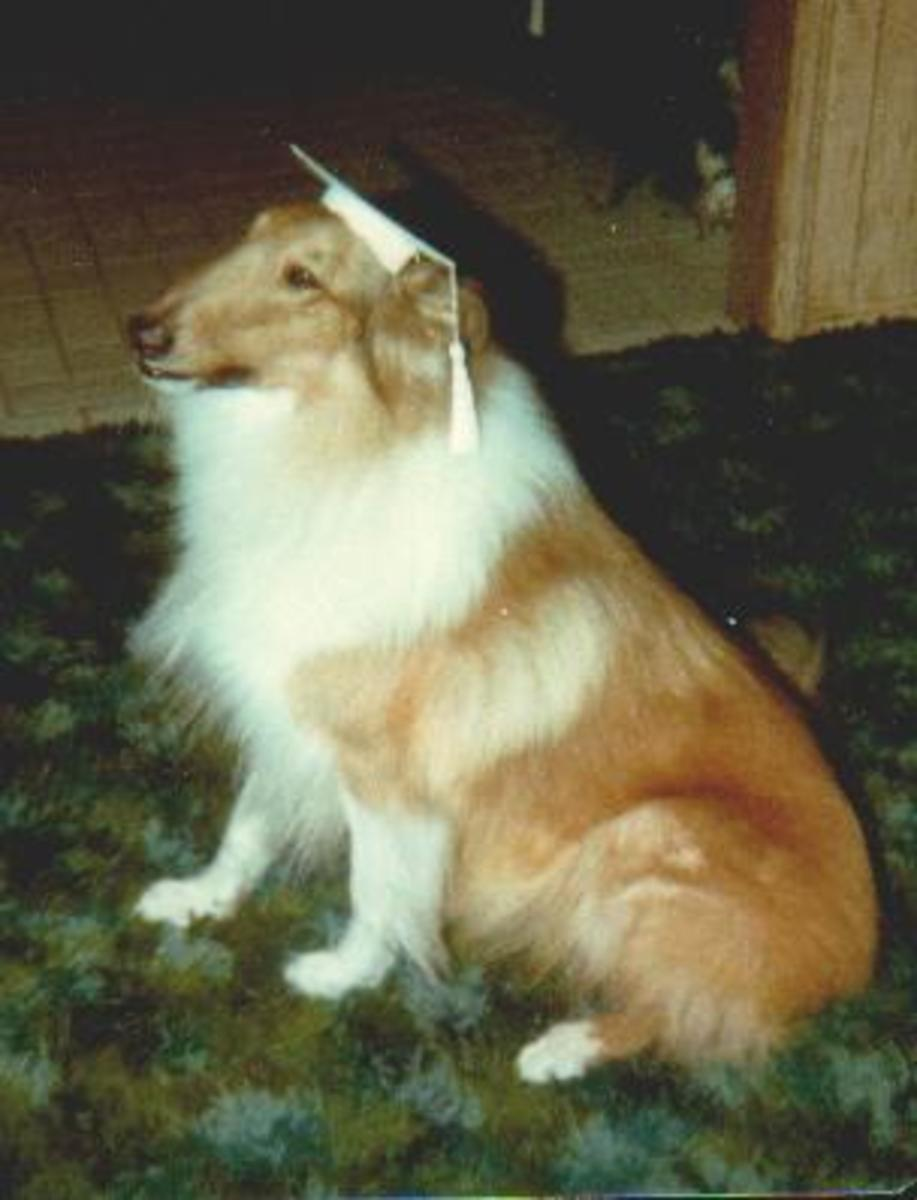 A rough collie obviously ready for his graduation day!