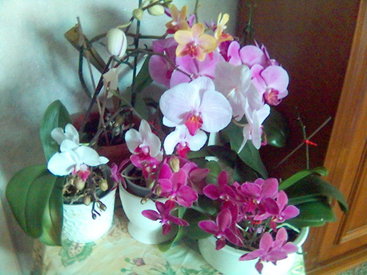 My Healthy Orchids!