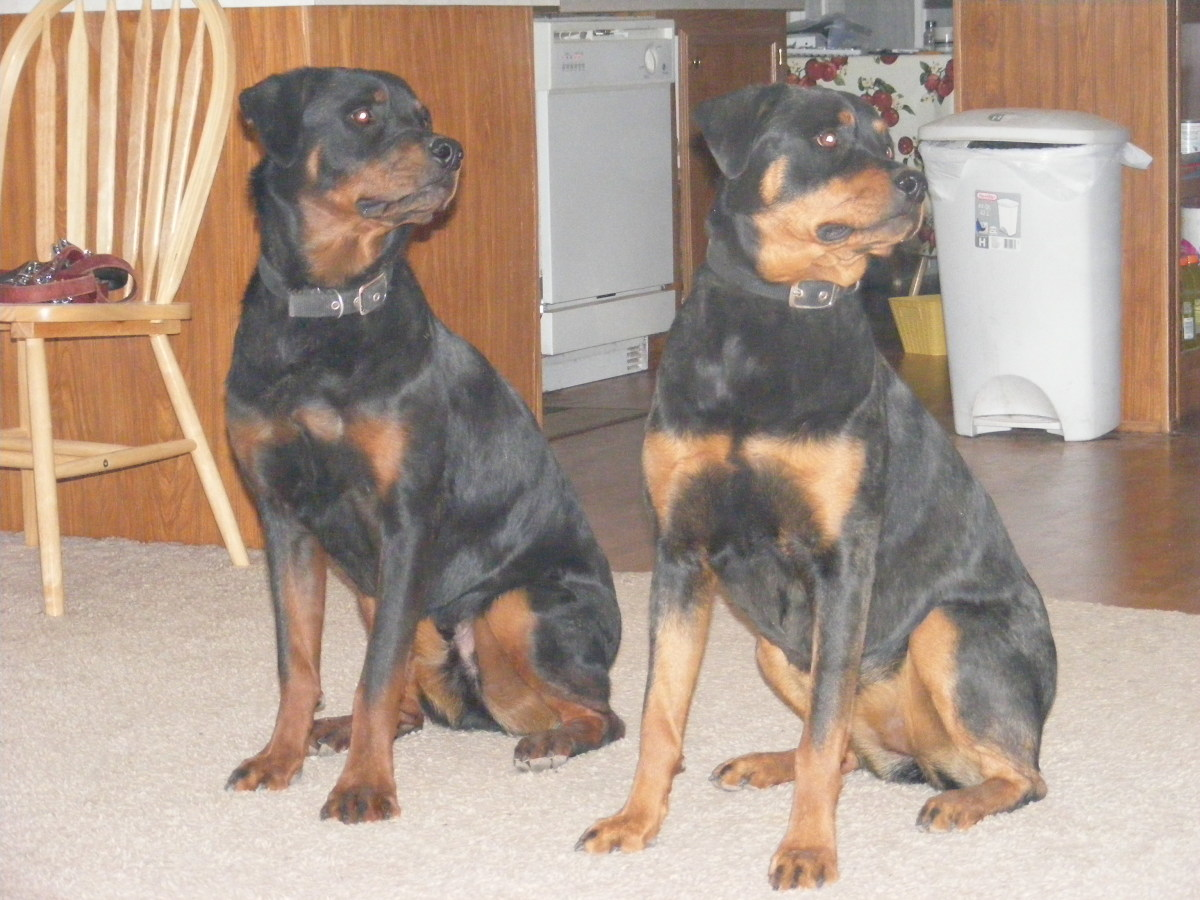 American, German or Roman? The Different Types of Rottweilers