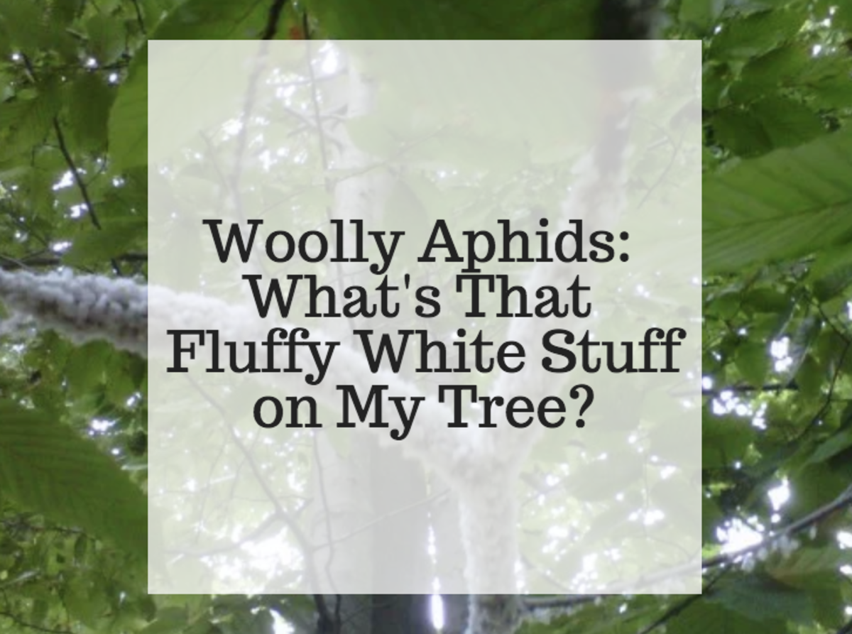 Woolly Aphids: What's That Fuzzy Fluffy White Stuff on My Tree?