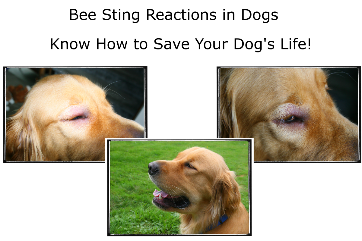 Dog Allergies: Bee Sting Reactions and Treatment