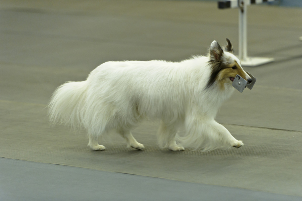 A white Shetland Sheepdog performing a scent discrimination exercise at a competition obedience trial.