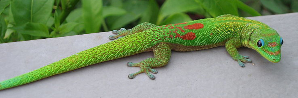 4 Different Types of Geckos That Make Great Pets