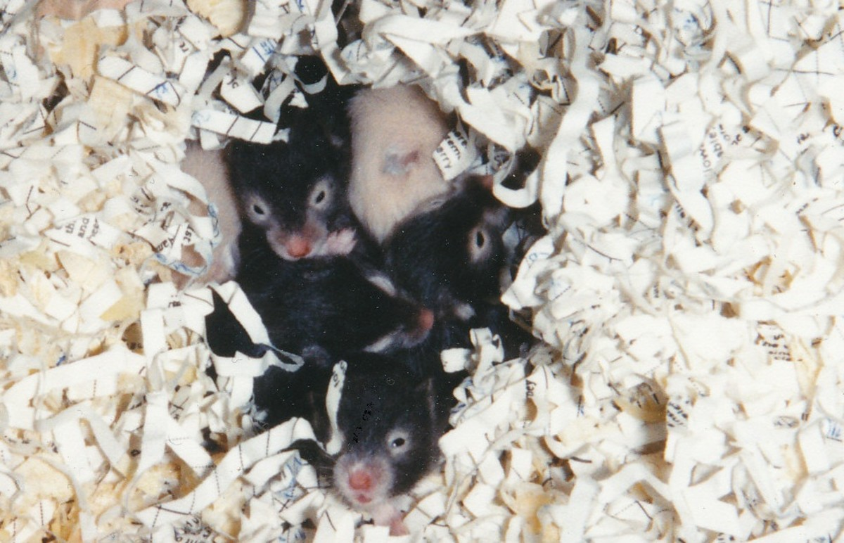 Baby hamsters in bed—very hard to resist!