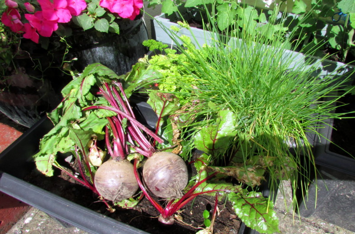 How to Grow Beetroot From Beet Seeds in Containers and Pots