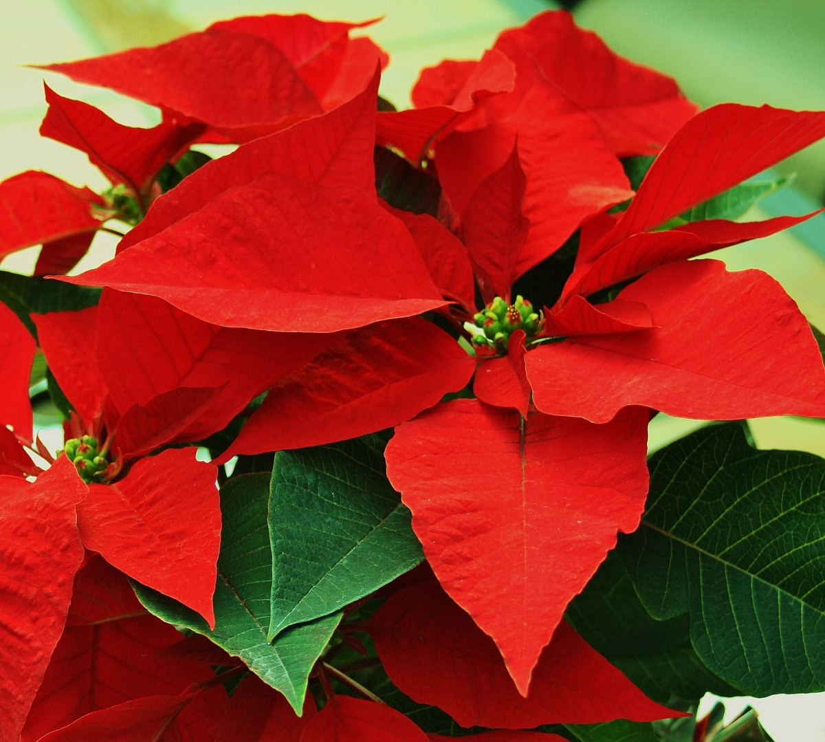 How to Make Poinsettias Last Longer