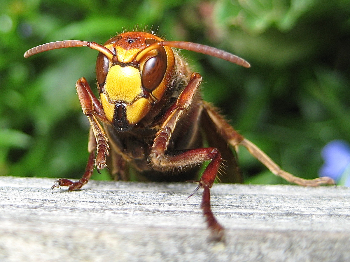 Interesting Facts About Hornets - Large Wasps With Paper Nests