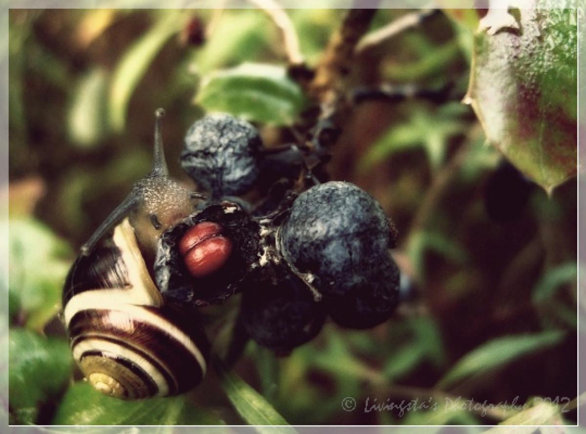 A garden snail feeding on mahonia fruits.