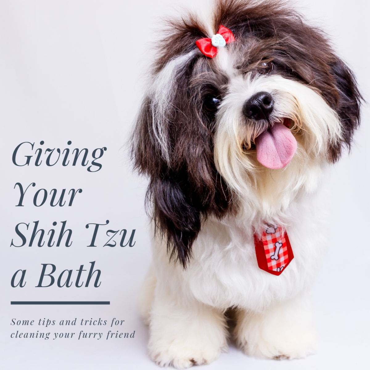 This article will provide some information and pointers on how to properly bathe and pamper your Shih Tzu.